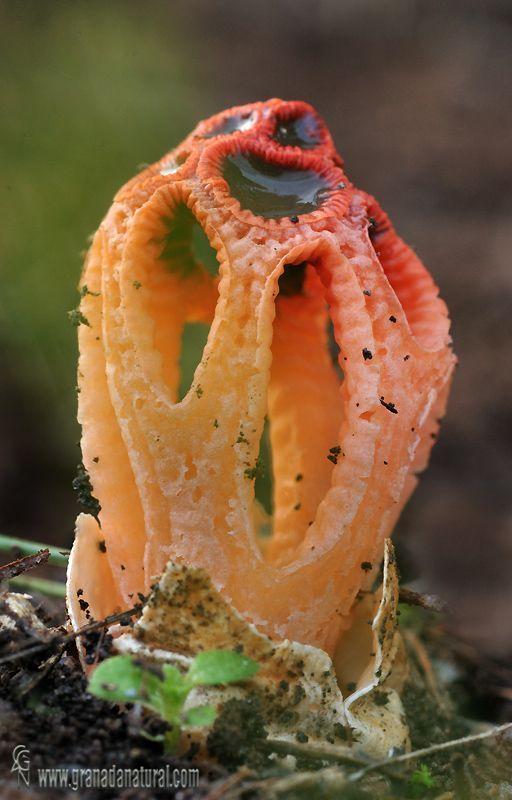 Stinkhorn Mushroom.jpg